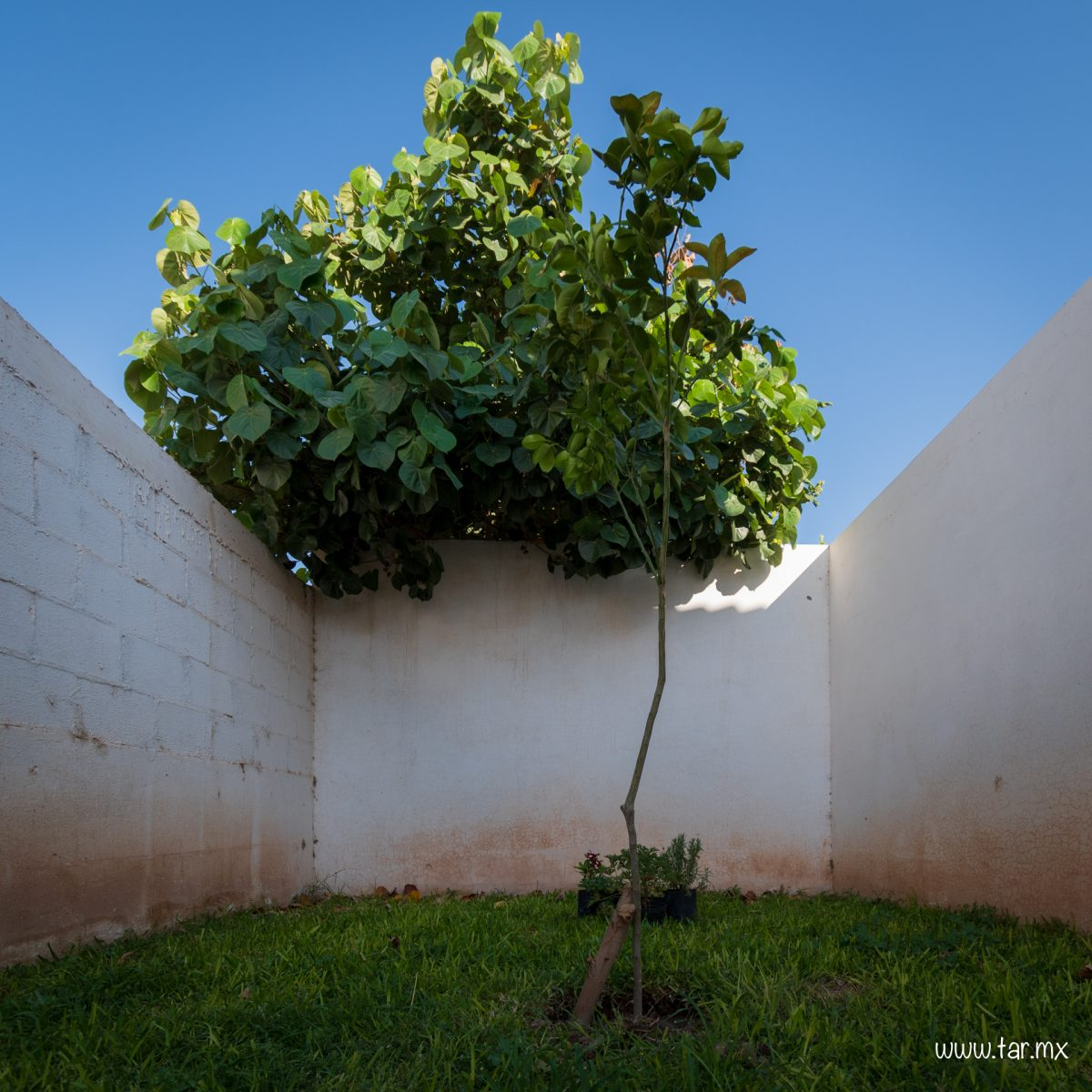 Naranjo, nuevo árbol